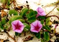 Morning Glory on the sand at Waimanalo