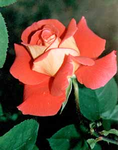 Photo of rose grown by Carolyn Crook Downing, photographed by Judy Crook Vorfeld